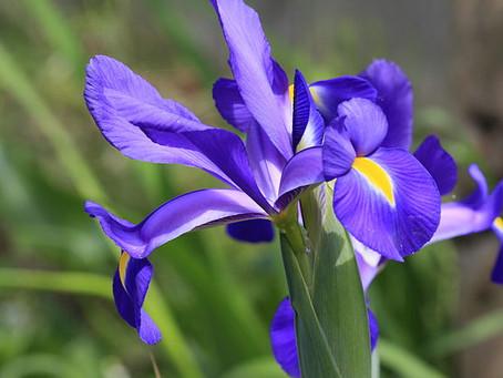5月の花 :文目(アヤメ)