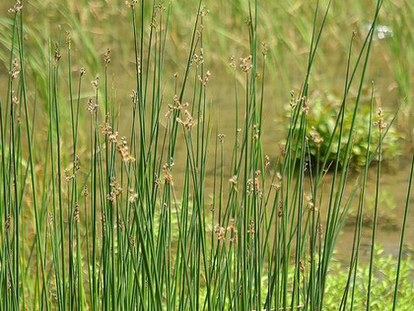 5月の花:太藺(フトイ)