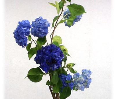 6月の花:アジサイ