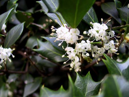 11月の花:柊(ヒイラギ)
