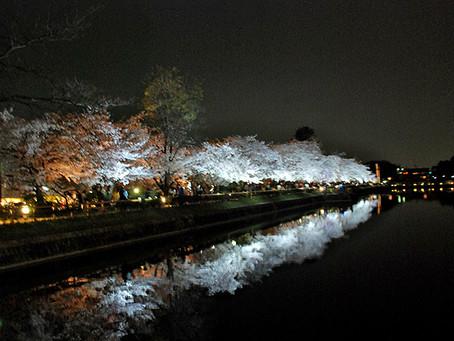 4月の花:桜(サクラ)