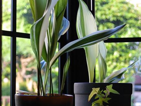 4月の花:葉蘭(ハラン)