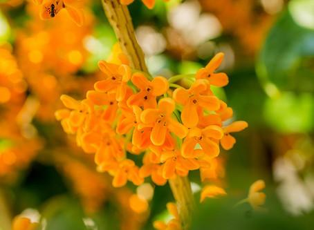 10月の花:木犀(モクセイ)
