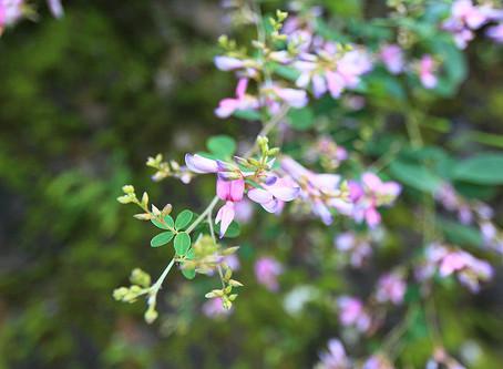 9月の花:萩(ハギ)
