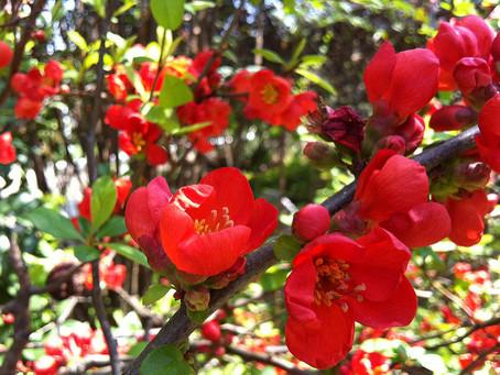 11月の花:木瓜(ボケ)