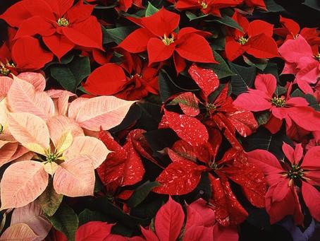 12月の花:ポインセチア