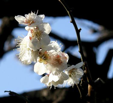 2月の花:梅