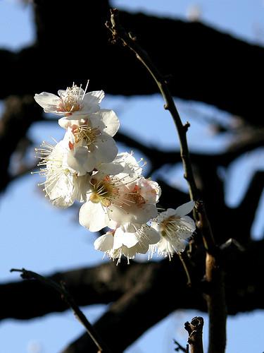 flower_ume01.jpg