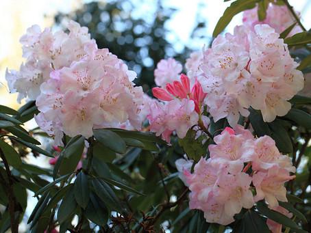 4月の花 :石楠花(しゃくなげ)