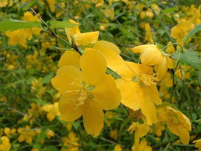 flower_yamabuki.jpg