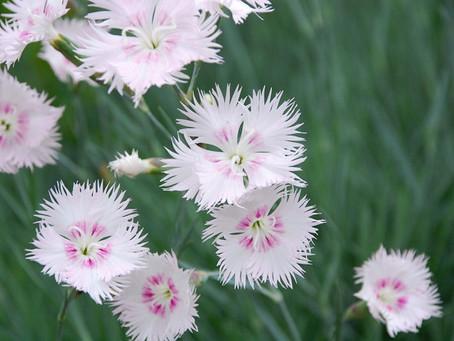 8月の花:撫子(ナデシコ)