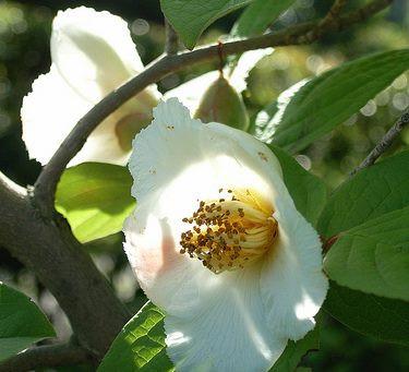 6月の花:夏椿(婆羅樹:シャラノキ)