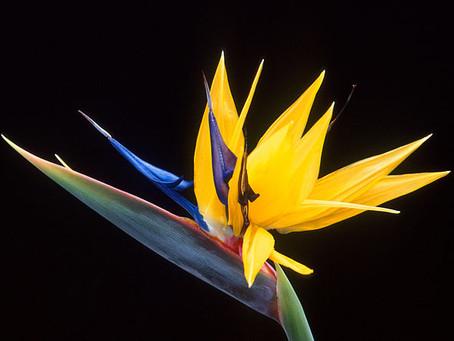 2月の花:極楽鳥花(ゴクラクチョウカ)