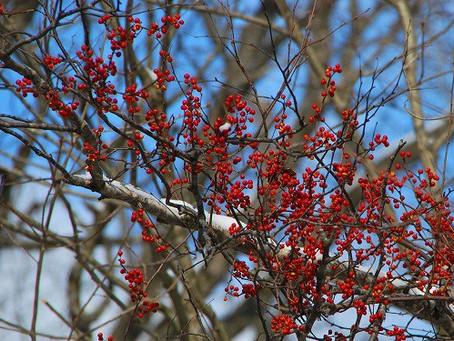 11月の花:ツルウメモドキ