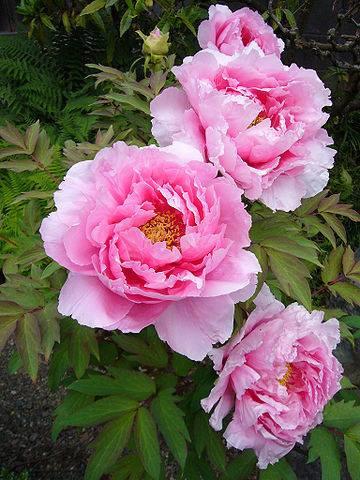 flower_botan.jpg
