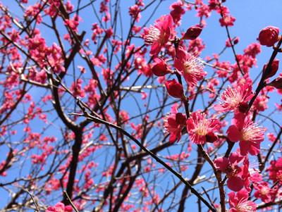 2月の花: 梅