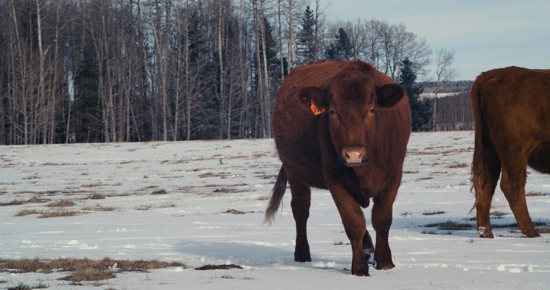 cows.00_00_08_12.Still001.jpg
