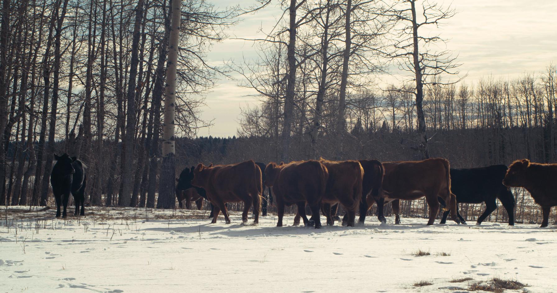 cows.00_00_21_06.Still003.jpg