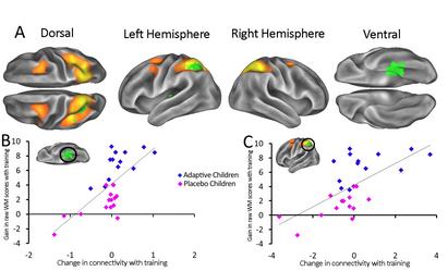 Cognitive training enhances intrinsic brain connectivity in childhood.  Astle, Barnes, Baker, Colclough, Woolrich. Journal of Neuroscience