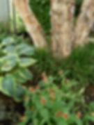 Landscape Design |  Native and non-native, plant combinations, river birch, spigela marilandica, liriope