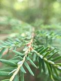 pine closeup.JPG
