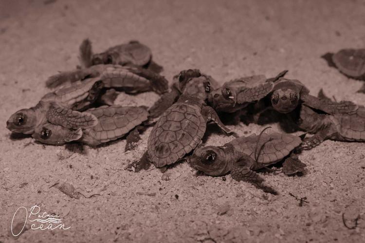 Marine Turtle Protection Program