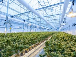 Florida's Marijuana Industry is in Trouble