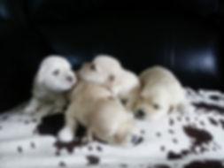 havanezer štenci