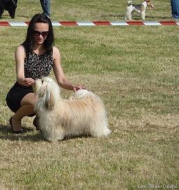 havanese dog show