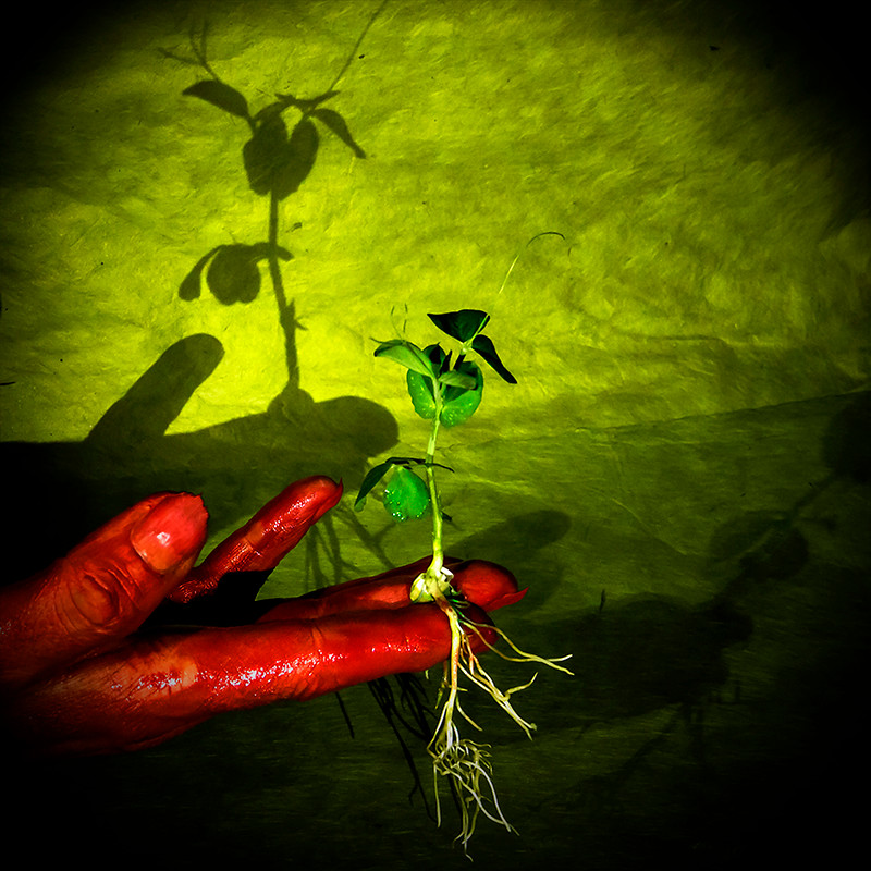 Pea, red hand, on green