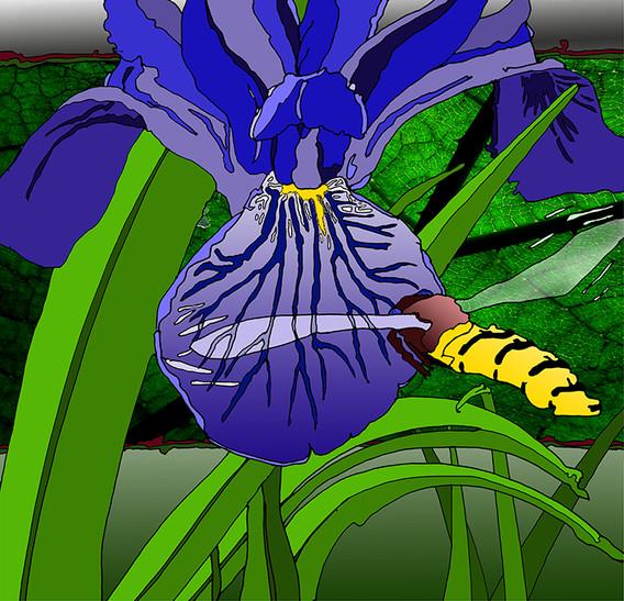 Hoverfly & Iris