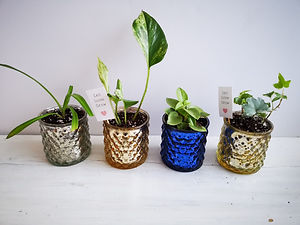small-plant-spider-jew-ivy.jpg