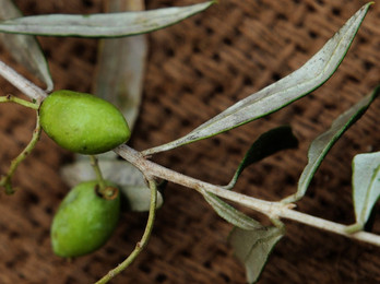 高曼蒂有機特級初榨橄欖油