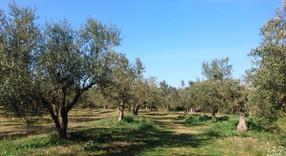 高曼蒂有機橄欖園