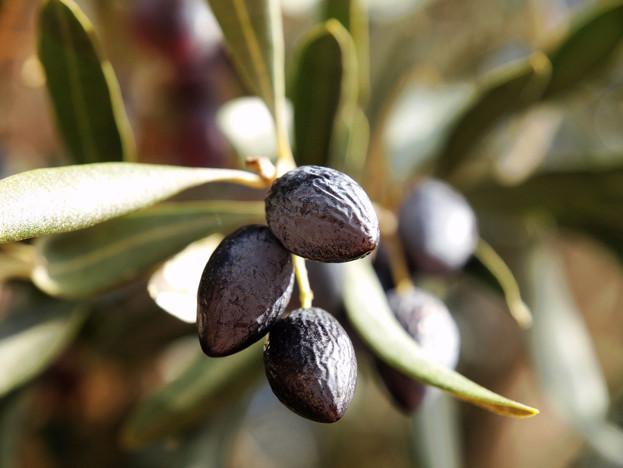 關於橄欖多酚