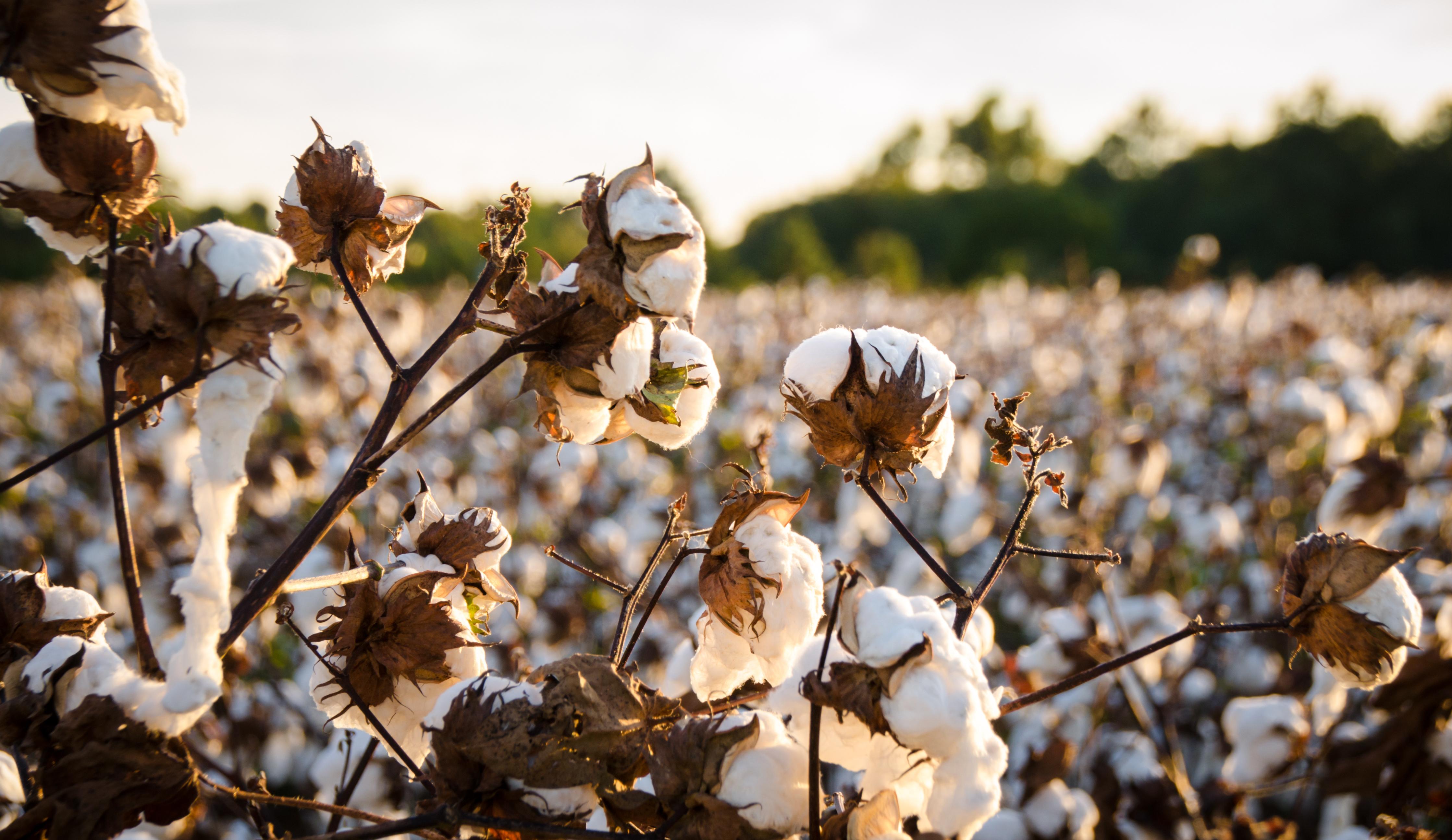 iStock-620997696 - cotton