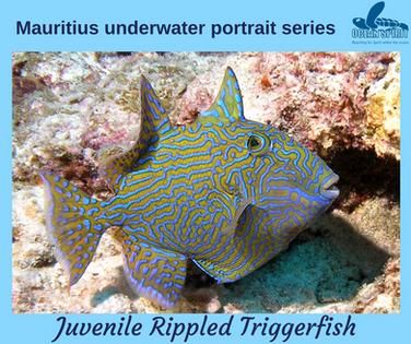 Juvenile Rippled Triggerfish