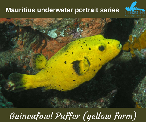 Guineafowl puffer (yellow form)