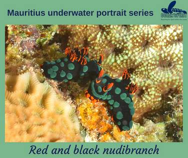Red and black nudibranch