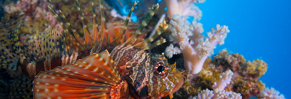 2 spot lion fish 2.jpg