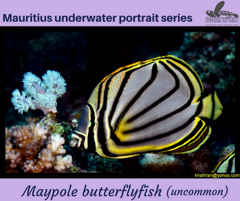 Maypole butterflyfish