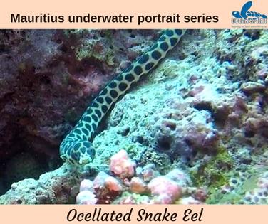 Ocellated snake eel