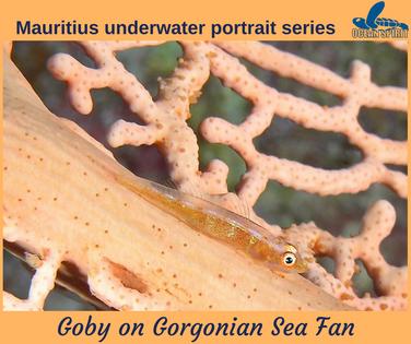 Goby on Gorgonian Sea Fan