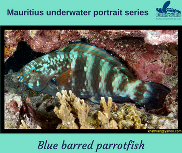 Blue barred parrotfish