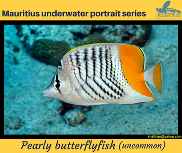Pearly butterflyfish