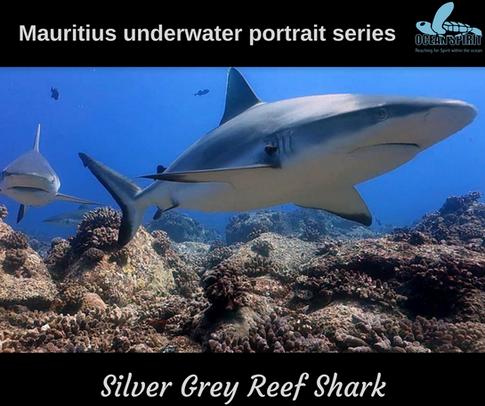 Silver Grey Reef Shark