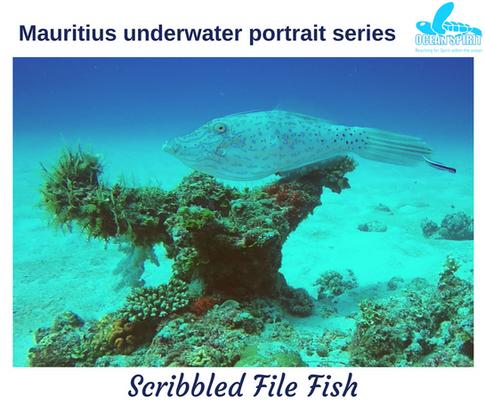 Scribbled file fish