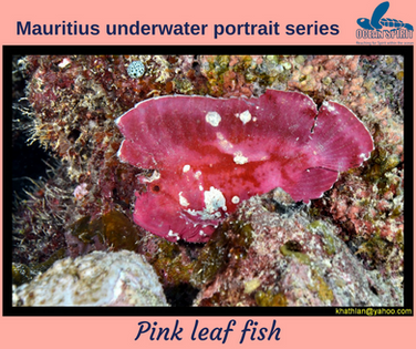Pink Leaf Fish