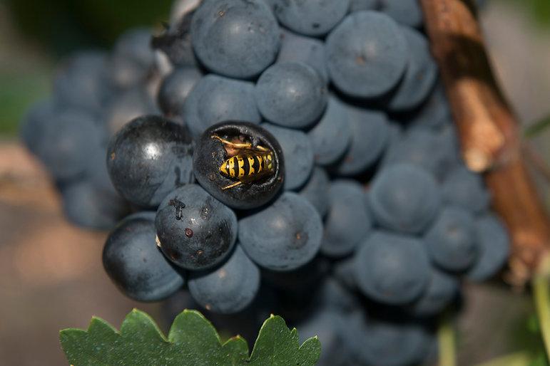 dominio basconcillos ribera del duero vinos de altura