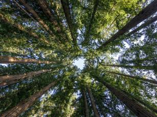 Sequoia 'groots en standvastig' Sempervirens